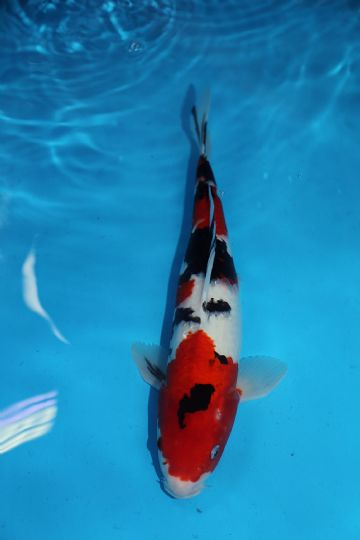 "Sanke-Koi For Sale 16"" 0118"